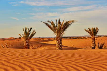 desierto del sahara: Palmeras y dunas de arena en el Desierto del Sahara, Merzouga, Marruecos