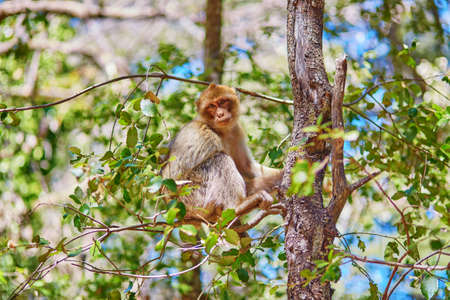 barbary ape: Barbary Apes in the Cedar Forest near Azrou, Northern Morocco, Africa