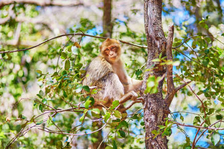 barbary: Barbary Apes in the Cedar Forest near Azrou, Northern Morocco, Africa