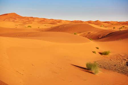 merzouga: Green plant in Sahara desert, Merzouga, Morocco, Africa Stock Photo