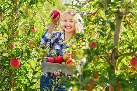 Mooie jonge vrouw die rijpe organische appelen in houten krat in boomgaard of op landbouwbedrijf op een dalingsdag plukt