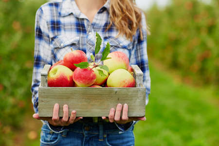 Closeup of womans hands holding wooden crate with red ripe organic apples