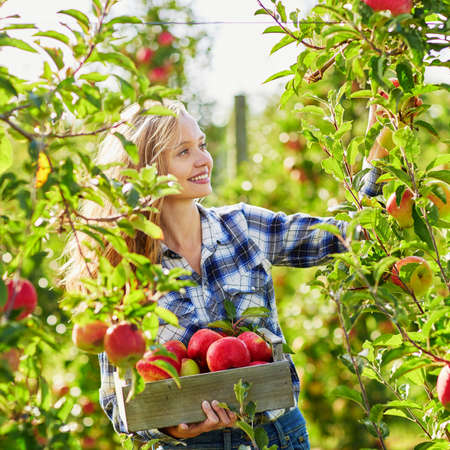 red food: Beautiful young woman picking ripe organic apples in wooden crate in orchard or on farm on a fall day Stock Photo