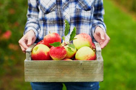 빨간색 잘 익은 유기농 사과 나무 상자를 들고 여자의 손의 근접 촬영