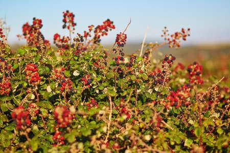 buisson: Maturation ronces sur un buisson pendant l'été Banque d'images