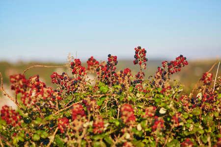br: Ripening brambles on a bush during summer