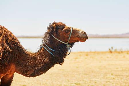 camello: Camello en el desierto del Sahara, Merzouga, Marruecos, �frica Foto de archivo