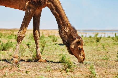desierto del sahara: Camello en el desierto del Sahara, Merzouga, Marruecos, �frica Foto de archivo