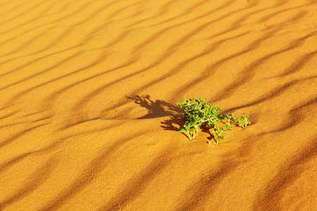 merzouga: Green plant growing in sand dunes in the Sahara Desert, Merzouga, Morocco