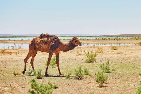 merzouga: Camel in Sahara desert, Merzouga, Morocco, Africa