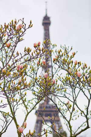 florescent light: Spring in Paris. Beautiful magnolia tree and the Eiffel Tower. Focus on flowers Stock Photo