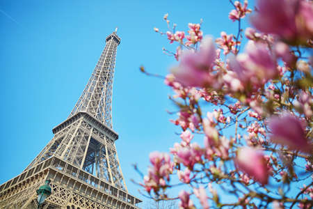 Beautiful pink magnolia in Paris near the Eiffel tower on a nice spring day with blue sky