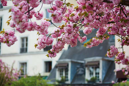Typical Parisian building with mansards and beautiful cherry blossom trees in full bloom. Spring in France concept