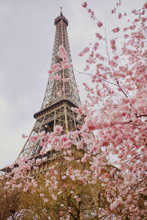 Cherry blossom flowers in full bloom with Eiffel tower in the background. Early spring in Paris, France Zdjęcie Seryjne - 74940477