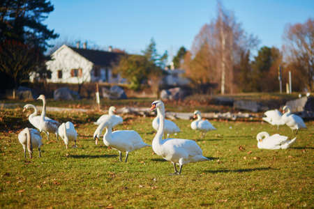 Many white swans in the countryside