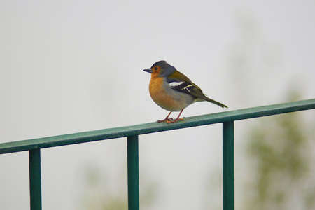 Closeup of colorful Madeiran chaffinch, bird endemic to the Portuguese island of Madeira. Imagens