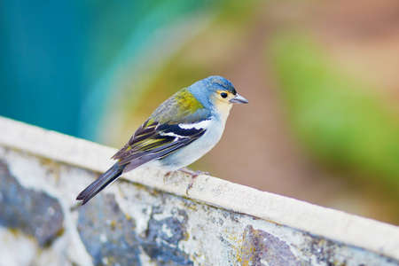 Closeup of colorful Madeiran chaffinch, bird endemic to the Portuguese island of Madeira. Stock Photo