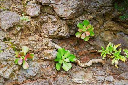 Succulents growing on rocks on Madeira island, Portugal