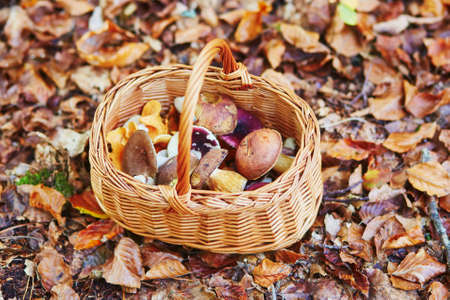 gather: Basket full of boletus mushrooms in forest on a fall day