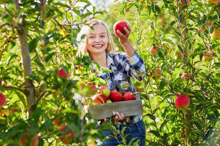 Vrouw met krat met rijpe rode appels op de boerderij. Herfst-, oogst- en tuinbouwconcept Stockfoto