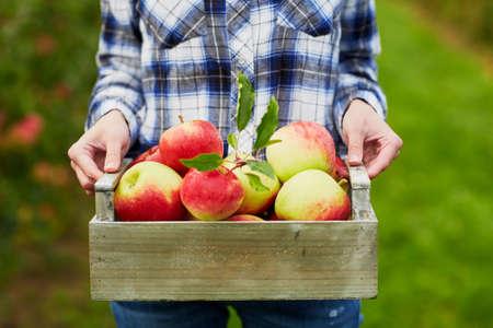 Frau hält Kiste mit reifen roten Äpfeln auf Farm. Herbst, Ernte und Gartenarbeit Konzept