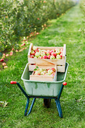 Wheelbarrow with crates of ripe red apples on farm Stock Photo