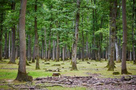 美しい混在松とフランスの落葉樹林 写真素材
