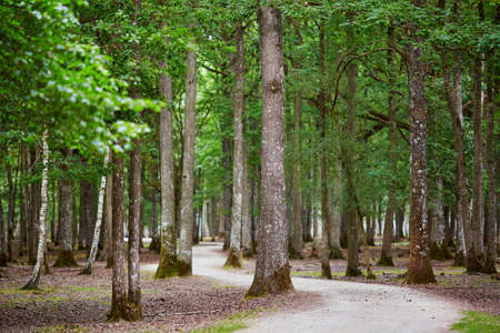 Beautiful mixed pine and deciduous forest with footwalk through it. France, Europe