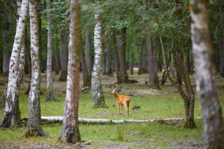 Wilde herten in mooi gemengd pijnboom en bladverliezend bos, Frankrijk Stockfoto