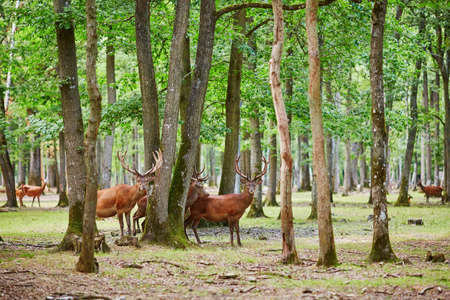 Wild deers in beautiful mixed pine and deciduous forest, France