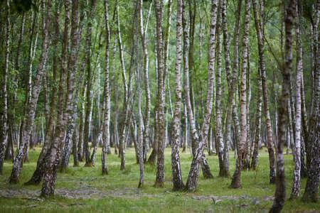 フランスの美しい白樺の森