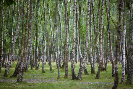Beautiful birch forest in France Stock Photo