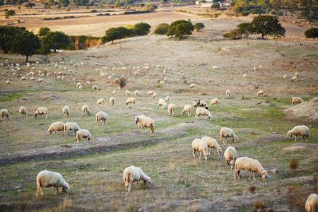 サルデーニャ、イタリアの牧草地の羊の群れ