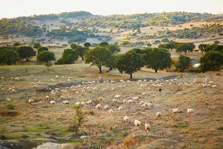 Sheep herd on pasture in Sardinia, Italy Imagens