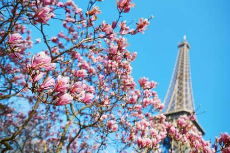 백그라운드에서 에펠 타워와 만개에서 핑크 목련 꽃. 파리, 프랑스의 이른 봄 스톡 콘텐츠