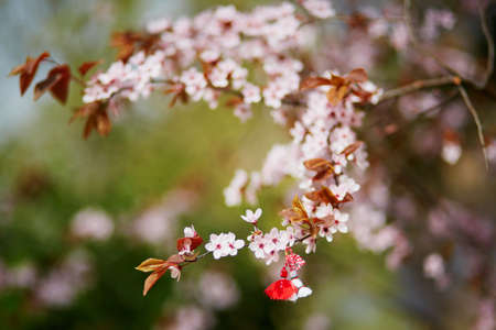 Branch of blossoming cherry tree with red and white martisor - traditional symbol of the first spring day