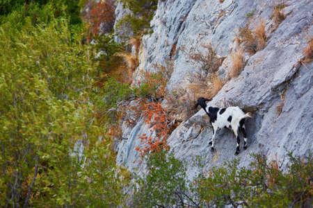 Mountain goat on stone slope on Sardinia, Italy