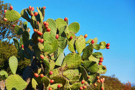 Prickly pear cactus (Opuntia, ficus-indica, Indian fig opuntia) with fruits