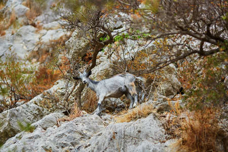 Mountain goat on stone slope on Sardinia, Italy