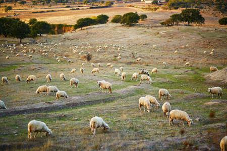 サルデーニャの牧草地の羊の群れ,イタリア 写真素材