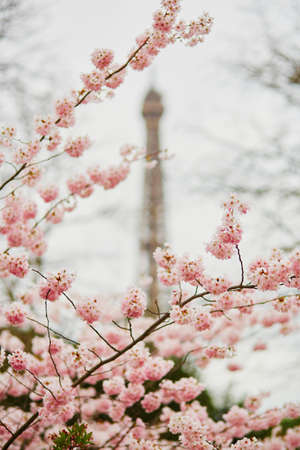 Spring in Paris. Beautiful cherry blossom tree and the Eiffel Tower