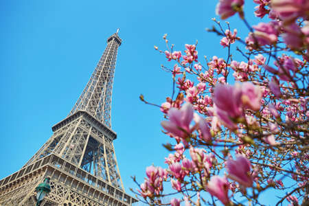 Pink magnolia flowers in full bloom with Eiffel tower in the background. Early spring in Paris, France