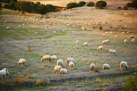 Sheep herd on pasture in Sardinia, Italy Stockfoto