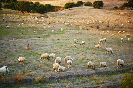 Sheep herd on pasture in Sardinia, Italy 写真素材