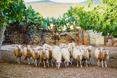 Sheep herd on pasture in Sardinia, Italy Stock Photo