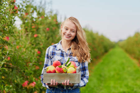 Beautiful young woman picking ripe organic apples in wooden crate in orchard or on farm on a fall day Stock Photo