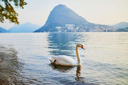 Swan on the lake Lugano in Lugano, canton of Ticino, Switzerland Stock Photo - 109091702