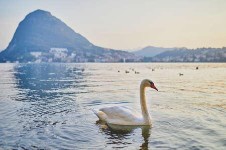 Swan on the lake Lugano in Lugano, canton of Ticino, Switzerland