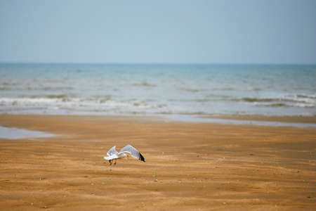 Seagull flying over the water. Sand beach at Atlantic coast in Normandy, France