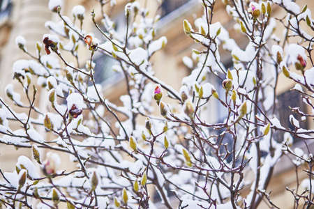 Snow covering branches of magnolia tree with flower buds. Unusual weather conditions in Paris, France Фото со стока